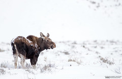 Winter Moose (Henry T. Cadwalader) Tags: nature nationalpark nikon wildlife conservation moose wyoming grandteton jacksonhole wy natureconservancy jacksonwy