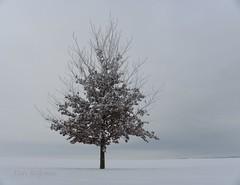 Eenzame beuk in de sneeuw (Jan Rijpma) Tags: winter jan sneeuw boom polder dronten flevoland fagus ijs vorst platteland sylvatica beuk flevopolder vriezen rijpma ijsselmeerpolders ketelweg