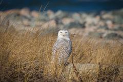 Snowy Owl (djrocks66) Tags: ocean winter snow ny beach nature birds animals wings snowy wildlife pray flight feathers shore owl artic raptors bif talons