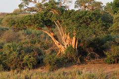 Ficus sycomorus (Sycamore Fig) (Nick Dean1) Tags: tree southafrica flora fig sycamore krugernationalpark sabie lowersabie sabieriver sycamorefig ficussycamorus