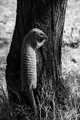 Mongoose_DSC2614 (Mel Gray) Tags: blackandwhite wildlife namibia etosha mongoose wildanimals namutoni etoshagamereserve