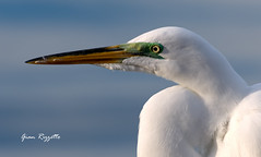Great Egret in the morning light (Gian Rizzetto) Tags: morning light bird water ed outside outdoors photography fishing nikon perfect florida wildlife great birding sharp clear 70300mm egret vr d7200