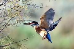 Ritorno sul ramo con pesciolino (Massimo Greco ) Tags: martin ngc npc pescatore