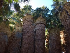 Shaggy Palms - McCallum Oasis at Coachella Valley Preserve (Blue Rave) Tags: hike hiking trail iphonephotography iphoneography coachellavalleypreserve deserthike trees palmtrees 2016 palmsprings thousandpalms california nature