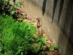 Was ist los? (magicmarcyde) Tags: zoo sommer wiese duisburg bltter mauer erdmnnchen gehege