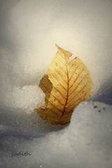 when fall meets winter (judecat ( celebrating spring)) Tags: winter snow fall nature leaf beechleaf