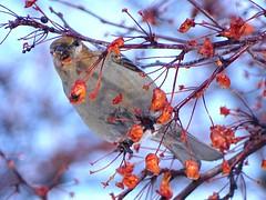 Feb4,2016 031 Pine Grosbeak female (terrygray) Tags: finch