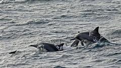 Sri Lanka 2015 (jaytee27) Tags: spinnerdolphin naturethroughthelens