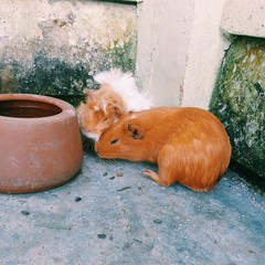 Gus & Anna (itsnotright) Tags: anna da gus fofo porquinhos roedor ndia caviidae