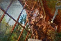 Queen of the Castle (jta1950) Tags: portrait pet pets painterly cute texture animal cat feline chat adorable cornishrex lenabemanna