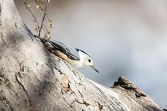 quabbinwinter2016-499 (gtxjimmy) Tags: winter bird nikon massachusetts newengland reservoir quabbin tamron nuthatch songbird quabbinreservoir d600 watersupply nikond600 150600mm