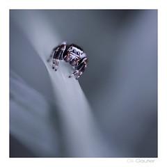 .. (Gil Gautier @GilGPhotographie) Tags: spider nikon sigma araigne d300 105mm saltique gilgphotographie gilgautier