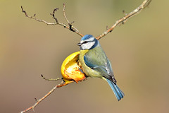 Cinciarella (Cyanistes caeruleus) (Mascamit) Tags: natura uccelli viterbo bluetit lazio uccello cyanistescaeruleus cinciarella bassanoromano