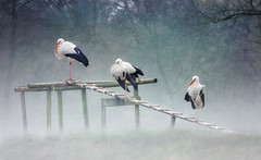 IMG_7563h Storks in the mist - IN EXPLORE #85 (pinktigger) Tags: winter italy mist bird nature animal fog italia outdoor stork cegonha cigea friuli storch ooievaar fagagna ciconiaciconia cicogne cicogna oasideiquadris feagne