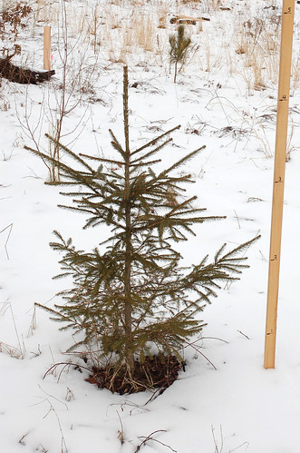 "Norway Spruce, Planted 2011 <a style=""margin-left:10px; font-size:0.8em;"" href=""http://www.flickr.com/photos/91915217@N00/24823371060/"" target=""_blank"">@flickr</a>"