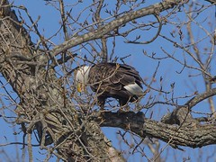 BALD EAGLES EAT CHICKEN 12 OF 13 (nsxbirder) Tags: baldeagle indiana haliaeetusleucocephalus brookville whitewaterriver franklincounty leveeroad