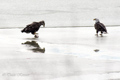 Bald eagles- Give it here junior! (TKovener) Tags: lake fish over bald indiana fighting eagles mississinewa