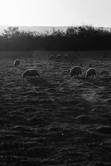DSC02315 (JSpacagna) Tags: morning england plants sun nature water animals landscape canal sheep wildlife