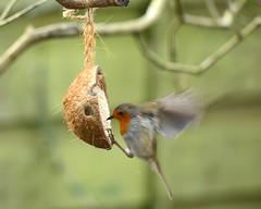 Robin on the feeder (mike_k0_0) Tags: robin gardenbirds d7100 tamronsp150600mmf563divcusd