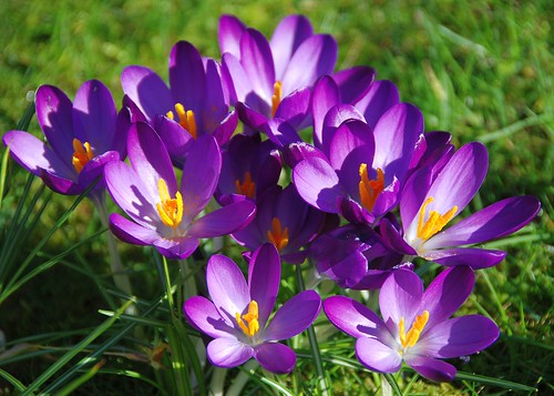 Ransacked by the Rain and Weathered by the Wind, These Crocuses Gamely Hold on For the First Day of Spring!