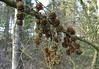 Winterrestje lariksappels/Leftlover winter larch apple (truus1949) Tags: winter wandelen natuur brabant noord lariks heeze heezerbos