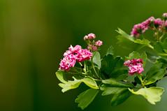 The Scarlet Flower (kud4ipad) Tags: flower tree scarlet plant kiev bokeh 2013 vivitar series1 70210