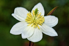Flower (chooyutshing) Tags: flower singapore cloudforest marinabay baysouth gardensbythebay