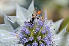 Ammophila sp. A01 (Jess Tizn Taracido) Tags: hymenoptera apocrita apoidea ammophila sphecidae ammophilini
