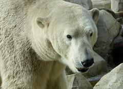 Polar Bear Lloyd (BrigitteE1) Tags: bear b animal germany mammal big europe polarbear lloyd bremerhaven zooammeer eisbr specanimal