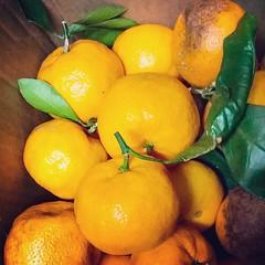 #mmm! #satsumas #citrus #mandarine #oranges #backyardgardening (Juliette_Adams) Tags: mandarine mmm citrus oranges satsumas backyardgardening uploaded:by=flickstagram instagram:photo=89433681907008275946253686