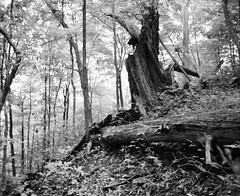 "Decay (Xsbmrnr (Please read profile before ""following"") Tags: trees blackandwhite mamiya film mediumformat bandw hfg mamiyarb67 hamiltonflickrgroup"