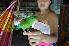 Embera Indian Pet Budgie in the Jungles of Panama (Joseph Hollick) Tags: pet bird jungle panama embera emberaindians