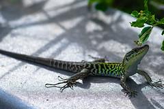 My model, a lizard. (aqfm92) Tags: sony lizard pro 28 f56 ml yashica a7 modded 135mm 2x efx kenko mc4 lighroom teleplus