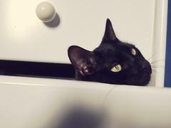 Polichinelle dans le tiroir.  Puppet in the drawer (nic0v0dka) Tags: drawer tiroir katze minou pussy cat chat gato amusing funny coquin