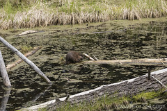 """Beaver • <a style=""""font-size:0.8em;"""" href=""""http://www.flickr.com/photos/63501323@N07/25714646092/"""" target=""""_blank"""">View on Flickr</a>"""