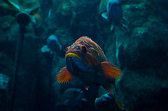 IMGP5318 (cimp8499) Tags: fish oregon aquarium underwater newport newportaquarium deepsea newportoregon