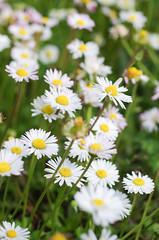 IMGP5803 (Axel12p) Tags: flowers spring  kozani    pentaxk5ii