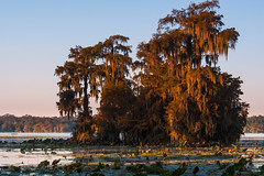 Lake Martin Morning (fate atc) Tags: trees usa lake sunrise reeds louisiana atchafalayabasin delta bayou swamp spanishmoss wetlands cypress lakemartin