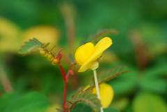 mani-manian (golden glory) explore (DOLCEVITALUX) Tags: flowers flower fauna flora philippines medicinalplants goldenglory peanutgrass manimanian pintopeanut