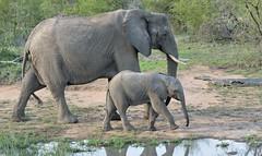African Elephant and Calf. (Bob Eade) Tags: baby southafrica large safari calf krugerpark africanelephant nikond610