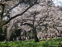 Cerasus spachiana f. spachiana (Shiori Hosomi) Tags: flowers plants japan cherry tokyo march blossoms  sakura    prunus rosales cerasus  2016 rosaceae       23