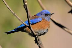 Western Bluebird (male) (3706) (Bob Walker (NM)) Tags: usa newmexico bird losalamos westernbluebird sialiamexicana webl
