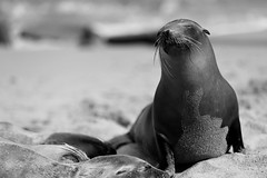 A POSING SEAL BLACK AND WHITE (Passion For Photos) Tags: california white black beach san diego seal and