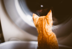 Wash's up? (Steffen Walther) Tags: orange pet cute animal cat germany fur kitten soft sweet bokeh jena redhead laundry boris katze curious washingmachine washer bokehlicious canon50mm12l canon5dmarkii steffenwalther