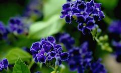 3 d ? (Rajavelu1) Tags: flowers blue plant blur green art garden outdoor creative indigo artland macrophotography canon60d