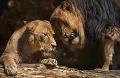 Wehe du gibst noch einmal Widerworte (ellen-ow) Tags: animal lion tier lwe piefke raubtiere sugetiere groskatzen katzenartige nikond7000