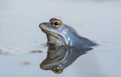 Rana arvalis (Tomas_K) Tags: blue male frog moor rana zaba modr ba modra modry samec arvalis modr skokan ostronos ostronosy