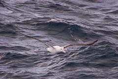 Southern Royal Albatross Gliding (Barbara Evans 7) Tags: ocean royal southern barbara albatross antarctic evans7