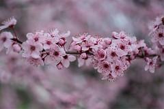 Bahar1 (listera_ovata) Tags: pink spring bahar pembe zuikomacro50f35 olympusmacro50f35