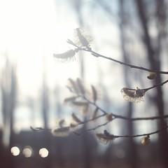 IMG_20160423_152911[1] (m_a_y_o_n_n_a_i_s_e) Tags: sunlight spring pussywillow